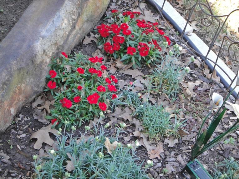 Dianthus!