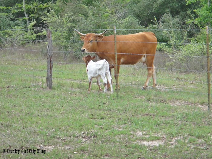 Momma and new calf