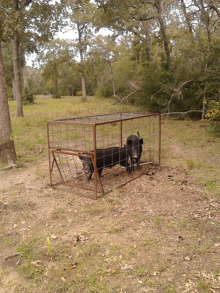 Pigs 11-10-13