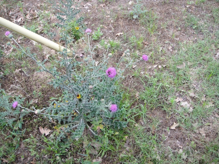 Thistle (I love the purple flowers even though the stalk is ugly!)